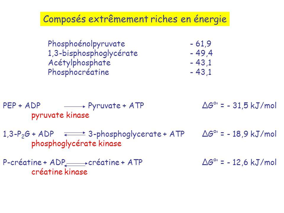 Composés extrêmement riches en énergie Phosphoénolpyruvate- 61,9 1,3-bisphosphoglycérate- 49,4 Acétylphosphate- 43,1 Phosphocréatine- 43,1 PEP + ADPPyruvate + ATPG° = - 31,5 kJ/mol pyruvate kinase 1,3-P 2 G + ADP3-phosphoglycerate + ATPG° = - 18,9 kJ/mol phosphoglycérate kinase P-créatine + ADPcréatine + ATPG° = - 12,6 kJ/mol créatine kinase