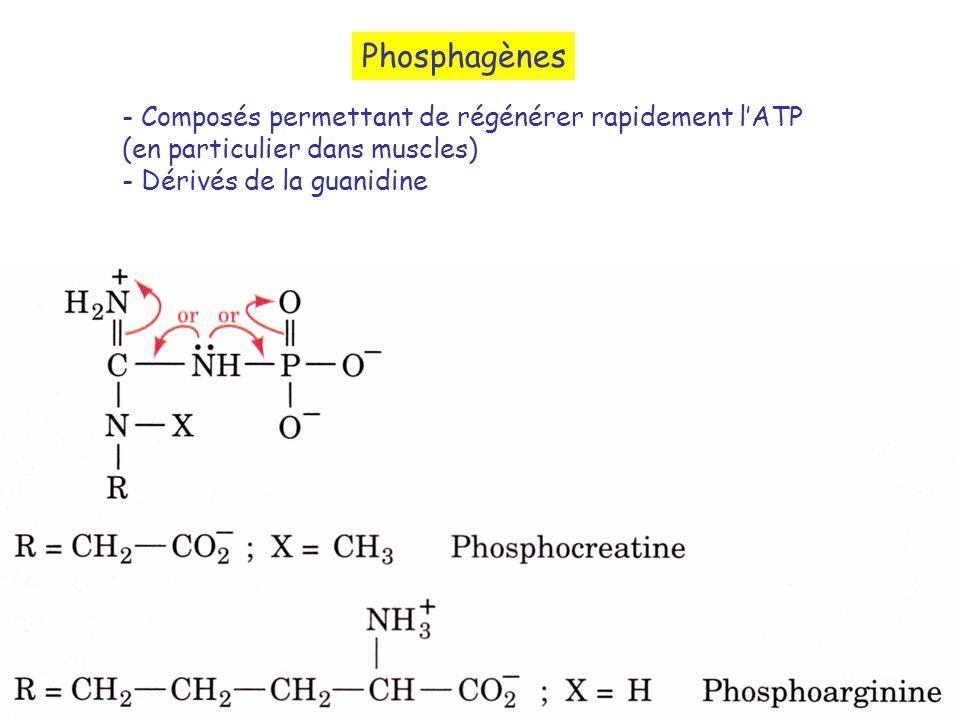 Phosphagènes - Composés permettant de régénérer rapidement lATP (en particulier dans muscles) - Dérivés de la guanidine