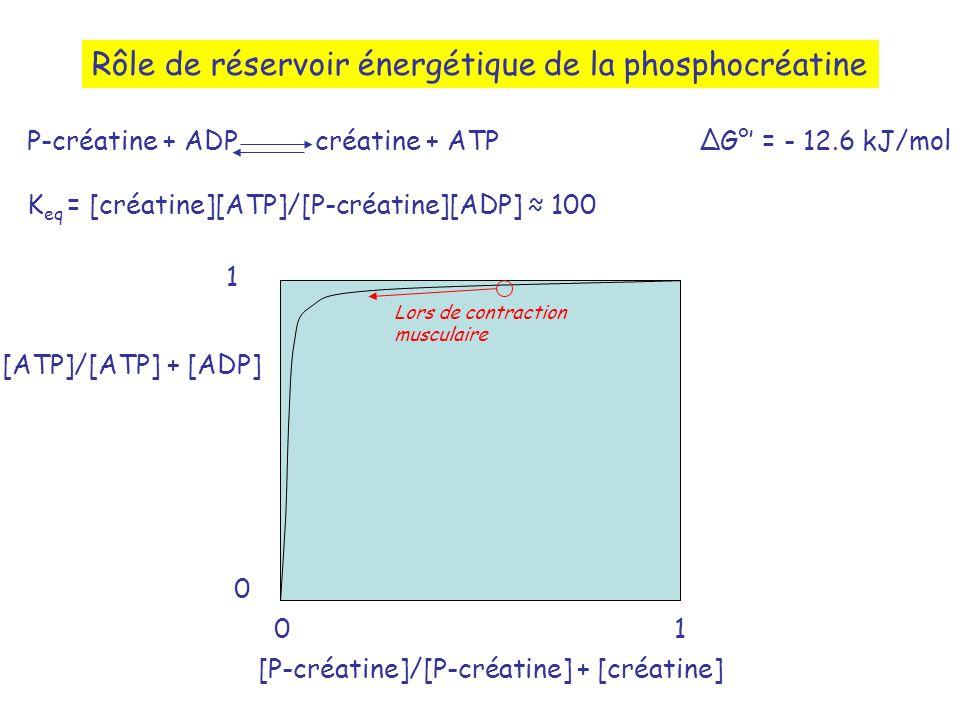 Rôle de réservoir énergétique de la phosphocréatine P-créatine + ADPcréatine + ATPG° = - 12.6 kJ/mol K eq = [créatine][ATP]/[P-créatine][ADP] 100 [ATP]/[ATP] + [ADP] [P-créatine]/[P-créatine] + [créatine] 1 10 0 Lors de contraction musculaire