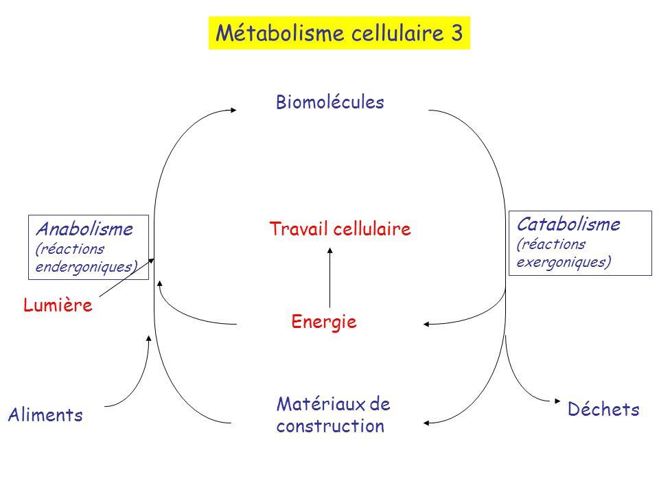 Métabolisme cellulaire 3 Biomolécules Matériaux de construction Energie Travail cellulaire Aliments Déchets Anabolisme (réactions endergoniques) Catabolisme (réactions exergoniques) Lumière