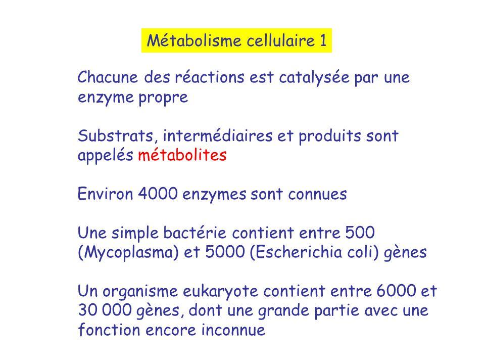 Métabolisme cellulaire 1 Chacune des réactions est catalysée par une enzyme propre Substrats, intermédiaires et produits sont appelés métabolites Environ 4000 enzymes sont connues Une simple bactérie contient entre 500 (Mycoplasma) et 5000 (Escherichia coli) gènes Un organisme eukaryote contient entre 6000 et 30 000 gènes, dont une grande partie avec une fonction encore inconnue