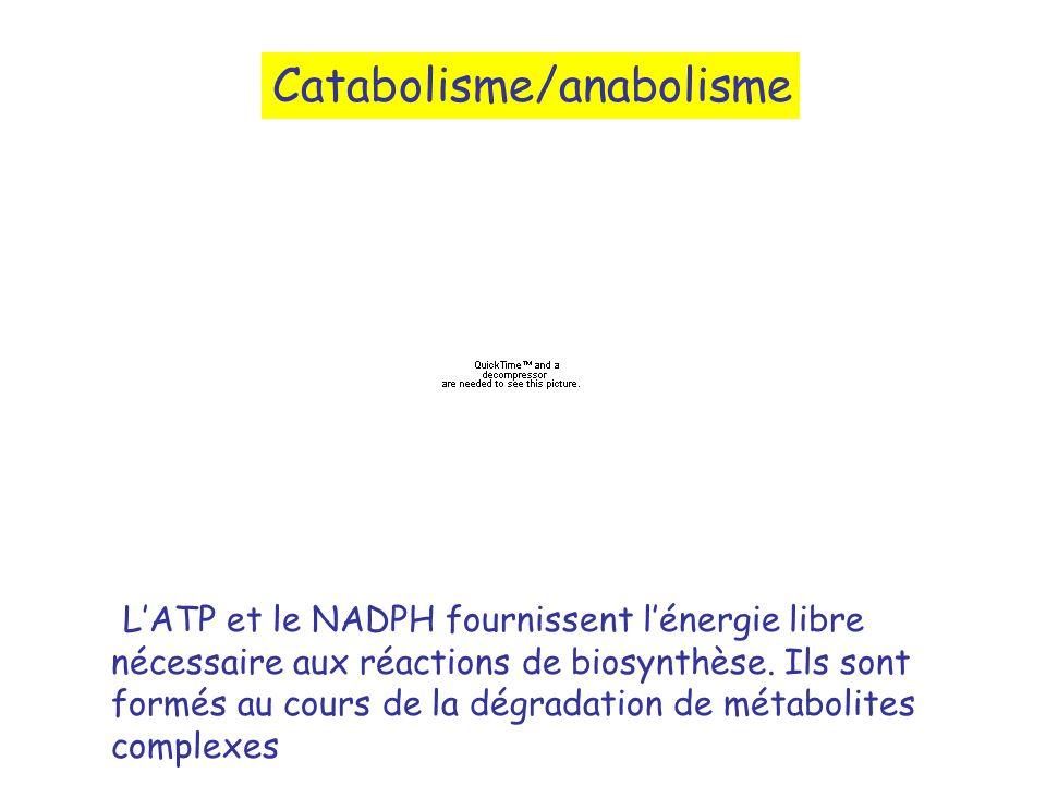 LATP et le NADPH fournissent lénergie libre nécessaire aux réactions de biosynthèse. Ils sont formés au cours de la dégradation de métabolites complex