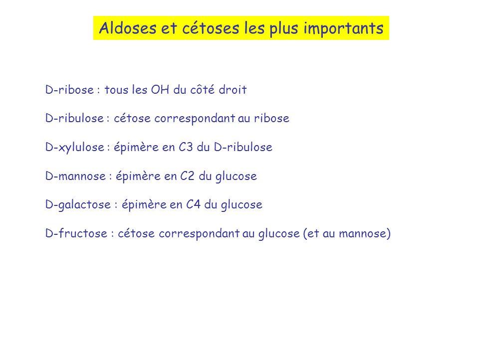 Aldoses et cétoses les plus importants D-ribose : tous les OH du côté droit D-ribulose : cétose correspondant au ribose D-xylulose : épimère en C3 du