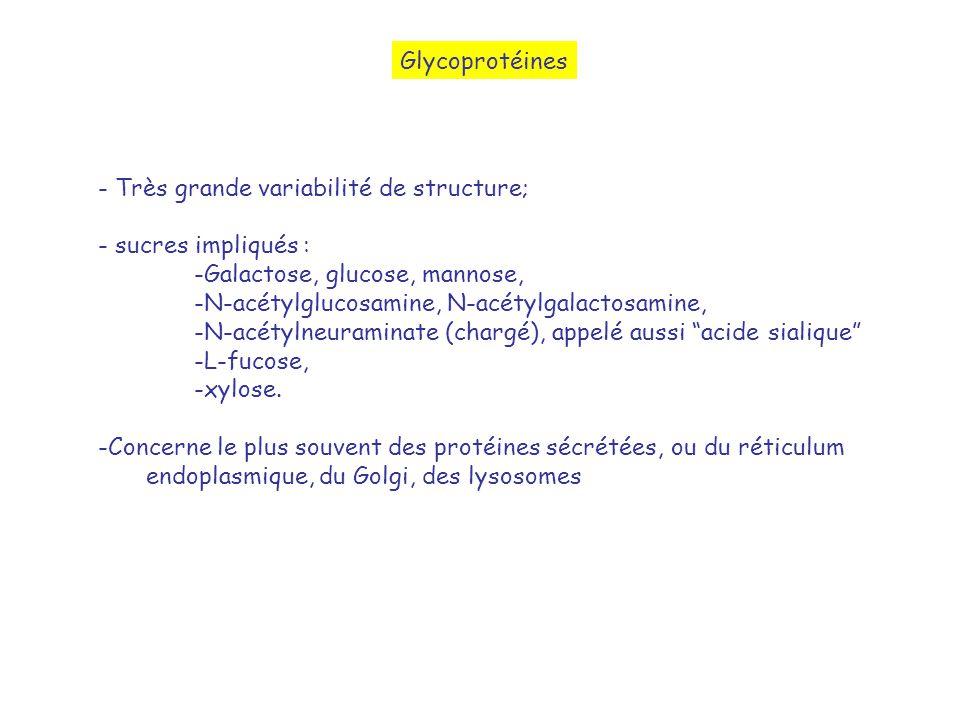 Glycoprotéines - Très grande variabilité de structure; - sucres impliqués : -Galactose, glucose, mannose, -N-acétylglucosamine, N-acétylgalactosamine,