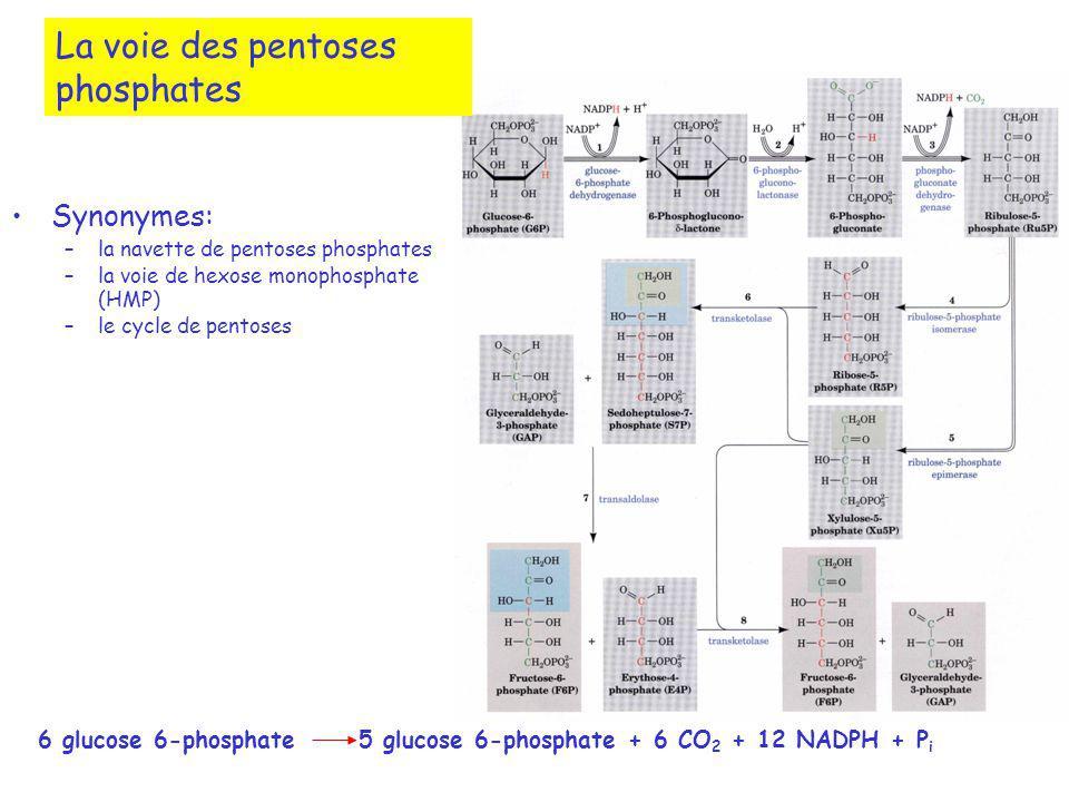 La voie des pentoses phosphates Synonymes: –la navette de pentoses phosphates –la voie de hexose monophosphate (HMP) –le cycle de pentoses 6 glucose 6-phosphate5 glucose 6-phosphate + 6 CO 2 + 12 NADPH + P i
