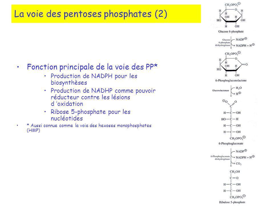 La voie des pentoses phosphates (2) Fonction principale de la voie des PP* Production de NADPH pour les biosynthèses Production de NADHP comme pouvoir réducteur contre les lésions d oxidation Ribose 5-phosphate pour les nucléotides * Aussi connue comme la voie des hexoses monophosphates (HMP)