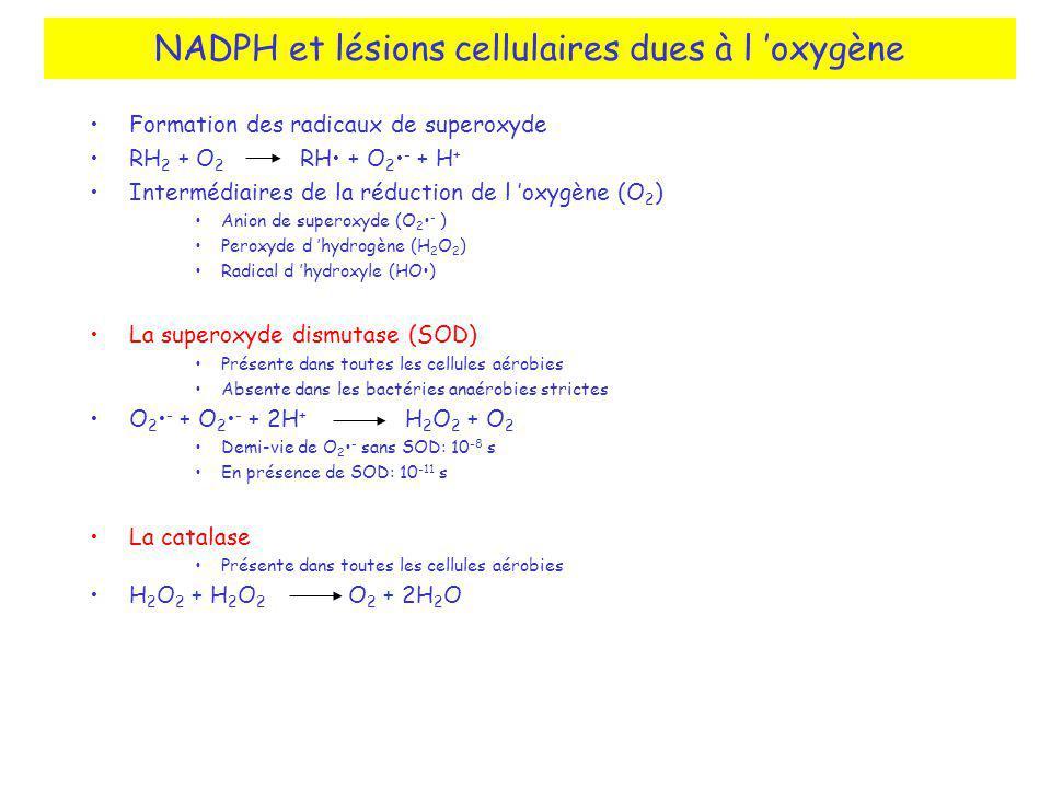 NADPH et lésions cellulaires dues à l oxygène Formation des radicaux de superoxyde RH 2 + O 2 RH + O 2 - + H + Intermédiaires de la réduction de l oxygène (O 2 ) Anion de superoxyde (O 2 - ) Peroxyde d hydrogène (H 2 O 2 ) Radical d hydroxyle (HO) La superoxyde dismutase (SOD) Présente dans toutes les cellules aérobies Absente dans les bactéries anaérobies strictes O 2 - + O 2 - + 2H + H 2 O 2 + O 2 Demi-vie de O 2 - sans SOD: 10 -8 s En présence de SOD: 10 -11 s La catalase Présente dans toutes les cellules aérobies H 2 O 2 + H 2 O 2 O 2 + 2H 2 O