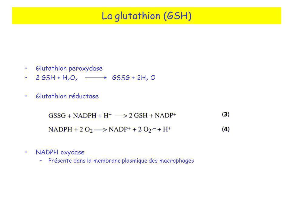 Glutathion peroxydase 2 GSH + H 2 O 2 GSSG + 2H 2 O Glutathion réductase NADPH oxydase –Présente dans la membrane plasmique des macrophages