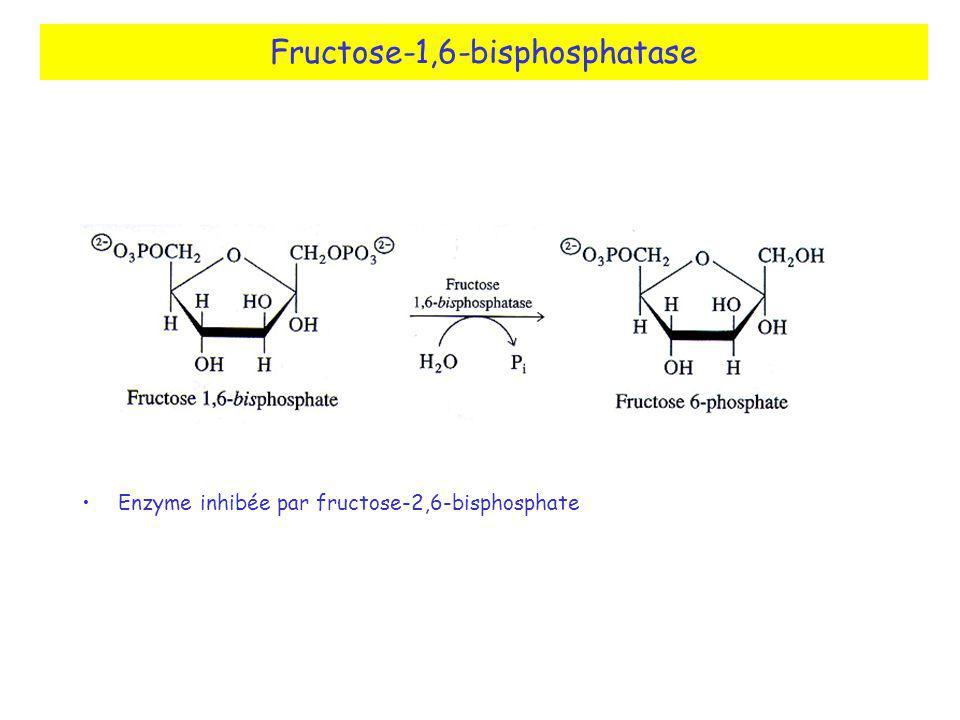 Fructose-1,6-bisphosphatase Enzyme inhibée par fructose-2,6-bisphosphate