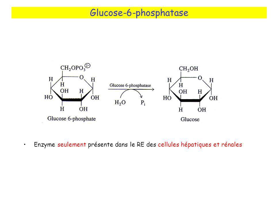 Glucose-6-phosphatase Enzyme seulement présente dans le RE des cellules hépatiques et rénales