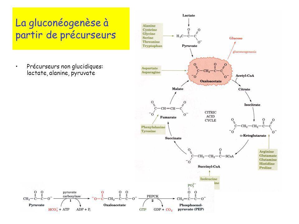 La gluconéogenèse à partir de précurseurs Précurseurs non glucidiques: lactate, alanine, pyruvate