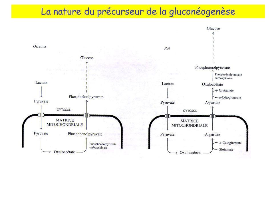 La nature du précurseur de la gluconéogenèse Localisation de PEPCK Oiseaux: mitochondries Rat: cytosol L homme: mitochondries + cytosol