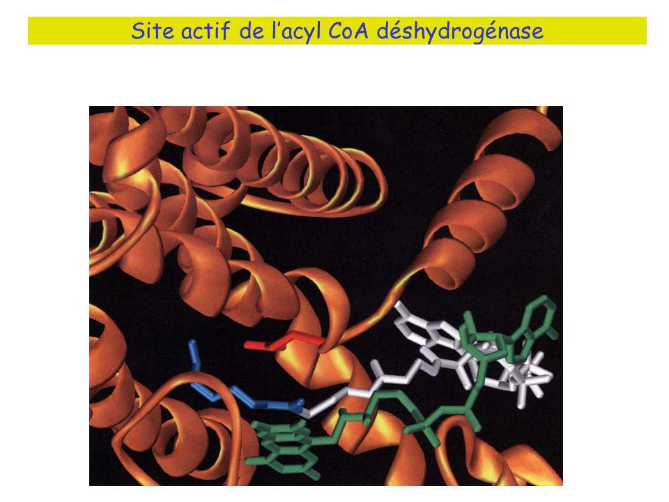 Site actif de lacyl CoA déshydrogénase