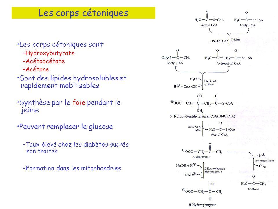 Les corps cétoniques Les corps cétoniques sont: –Hydroxybutyrate –Acétoacétate –Acétone Sont des lipides hydrosolubles et rapidement mobilisables Synt