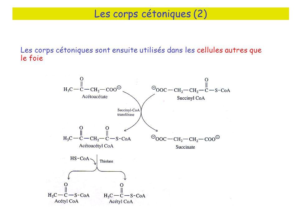 Les corps cétoniques (2) Les corps cétoniques sont ensuite utilisés dans les cellules autres que le foie
