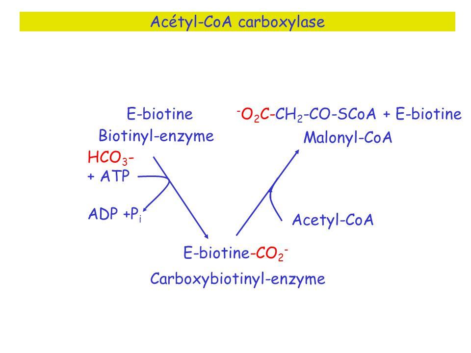 Acétyl-CoA carboxylase Biotinyl-enzyme Carboxybiotinyl-enzyme Malonyl-CoA Acetyl-CoA - O 2 C-CH 2 -CO-SCoA + E-biotine E-biotine-CO 2 - E-biotine HCO 3 - + ATP ADP +P i