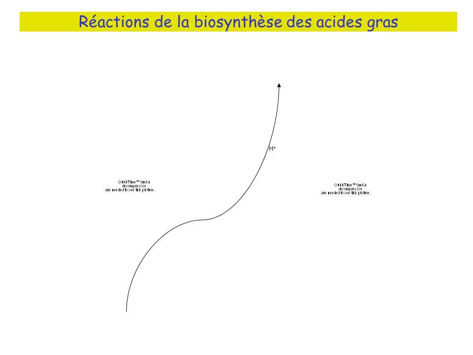 Réactions de la biosynthèse des acides gras H+H+