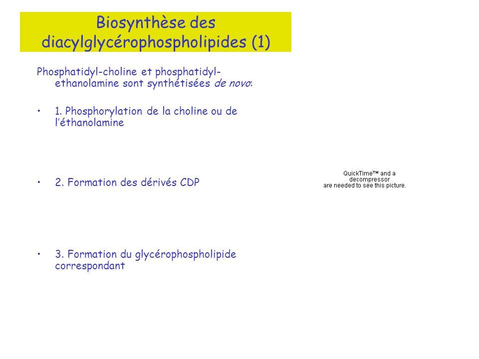 Phosphatidyl-choline et phosphatidyl- ethanolamine sont synthétisées de novo: 1. Phosphorylation de la choline ou de léthanolamine 2. Formation des dé