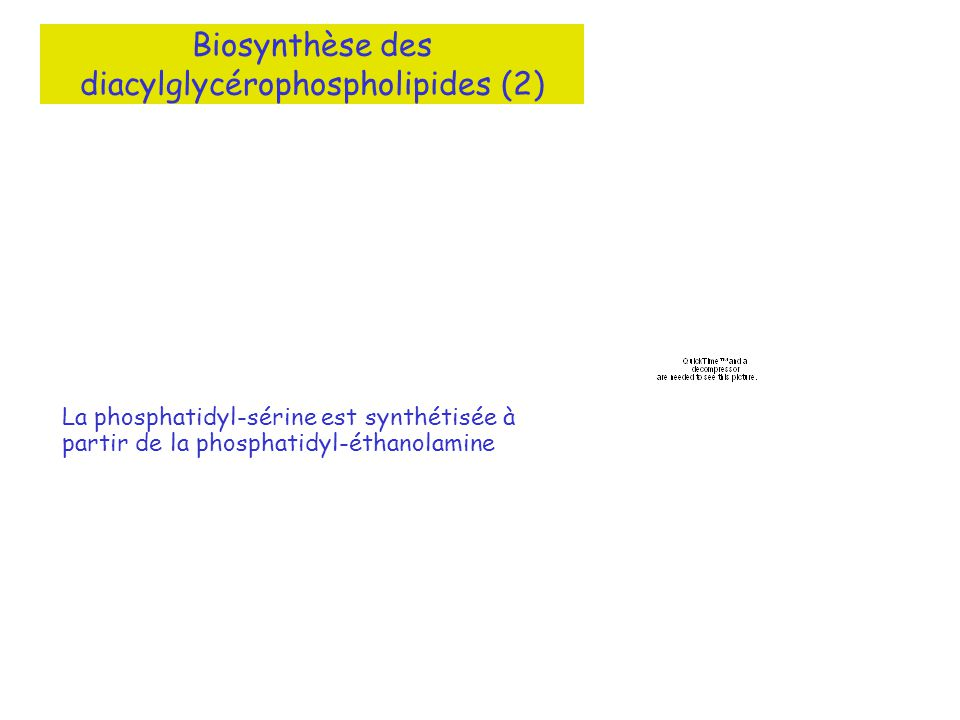 Biosynthèse des diacylglycérophospholipides (2) La phosphatidyl-sérine est synthétisée à partir de la phosphatidyl-éthanolamine