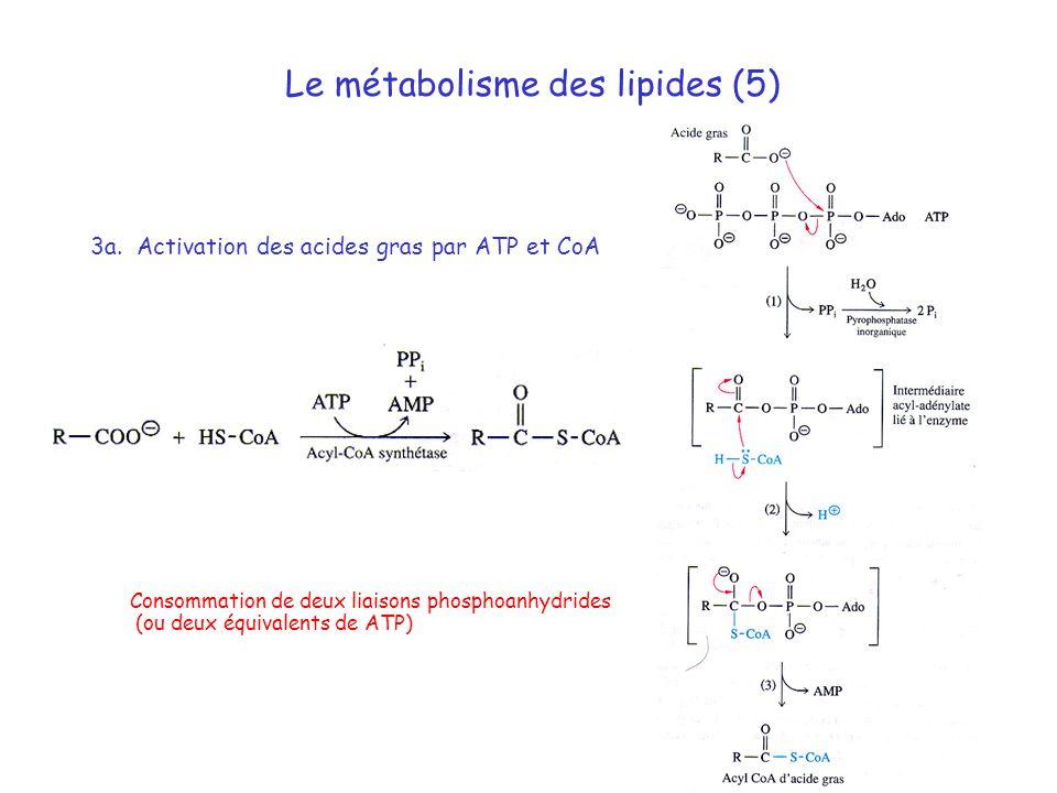 Le métabolisme des lipides (5) 3a. Activation des acides gras par ATP et CoA Consommation de deux liaisons phosphoanhydrides (ou deux équivalents de A