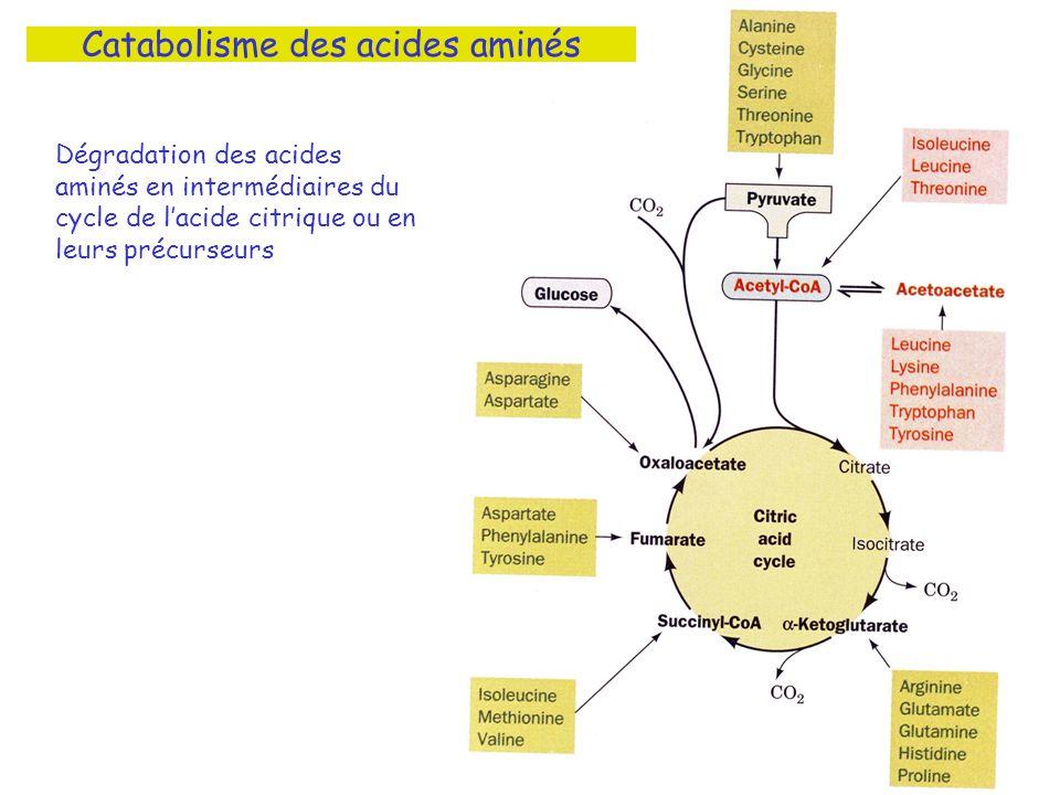 Catabolisme des acides aminés Dégradation des acides aminés en intermédiaires du cycle de lacide citrique ou en leurs précurseurs