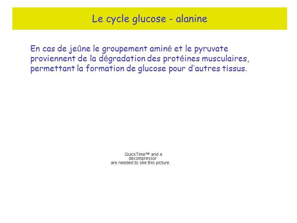 Le cycle glucose - alanine En cas de je û ne le groupement amin é et le pyruvate proviennent de la d é gradation des prot é ines musculaires, permettant la formation de glucose pour d autres tissus.