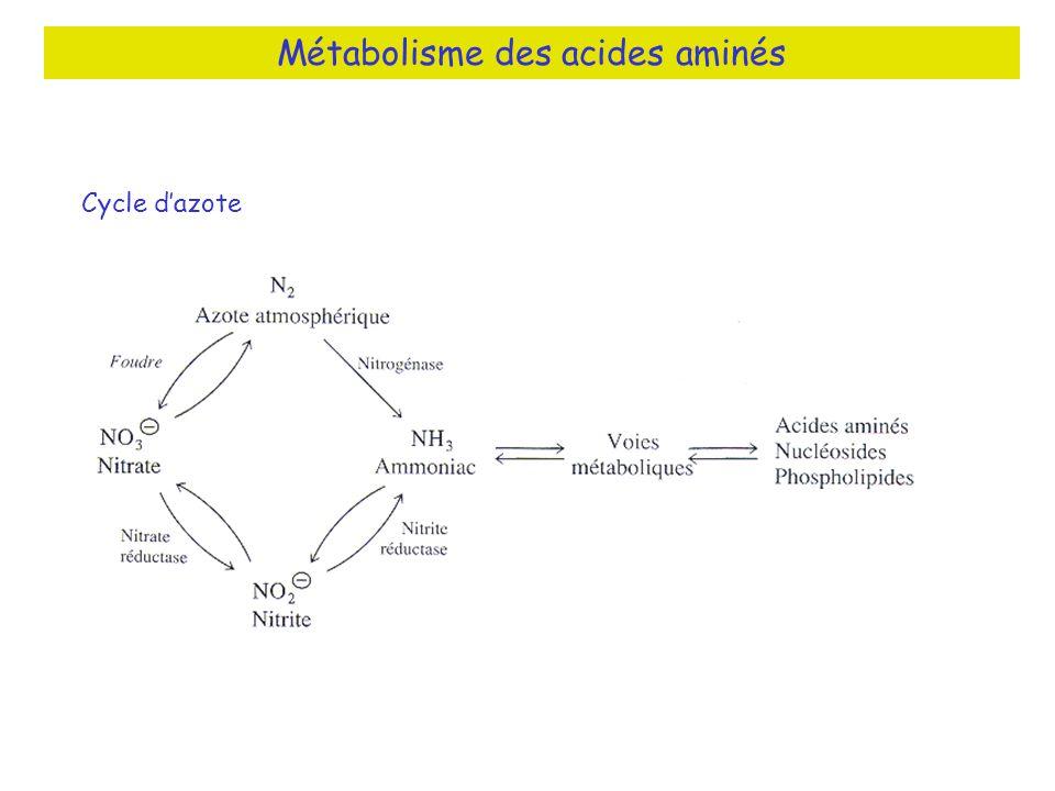 Cycle dazote Métabolisme des acides aminés