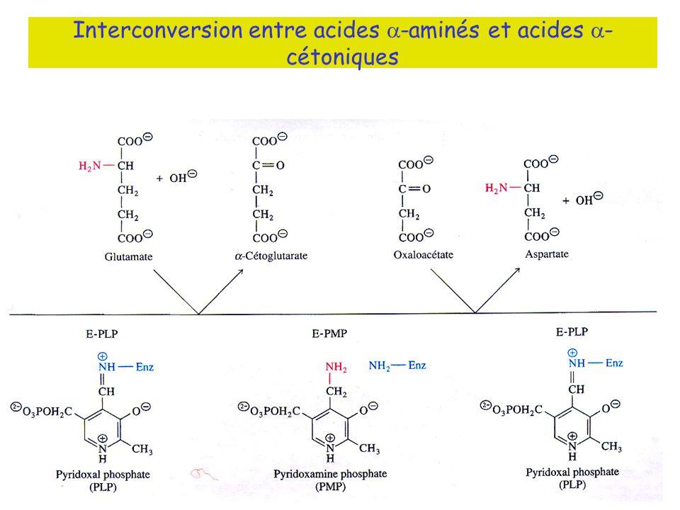 Interconversion entre acides -aminés et acides - cétoniques