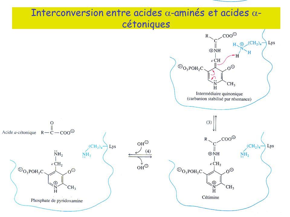 Fig ??? Interconversion entre acides -aminés et acides - cétoniques