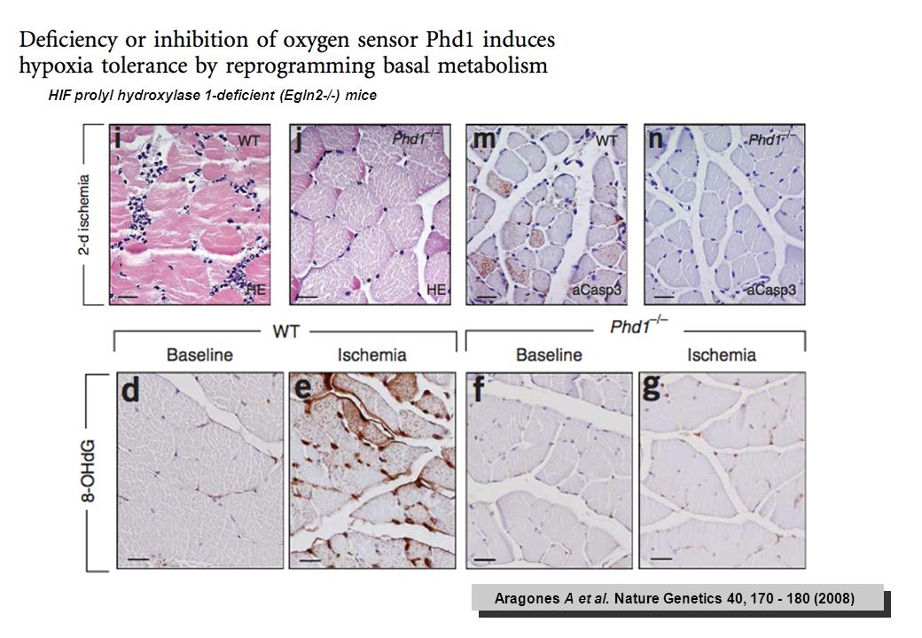 Aragones A et al. Nature Genetics 40, 170 - 180 (2008) HIF prolyl hydroxylase 1-deficient (Egln2-/-) mice