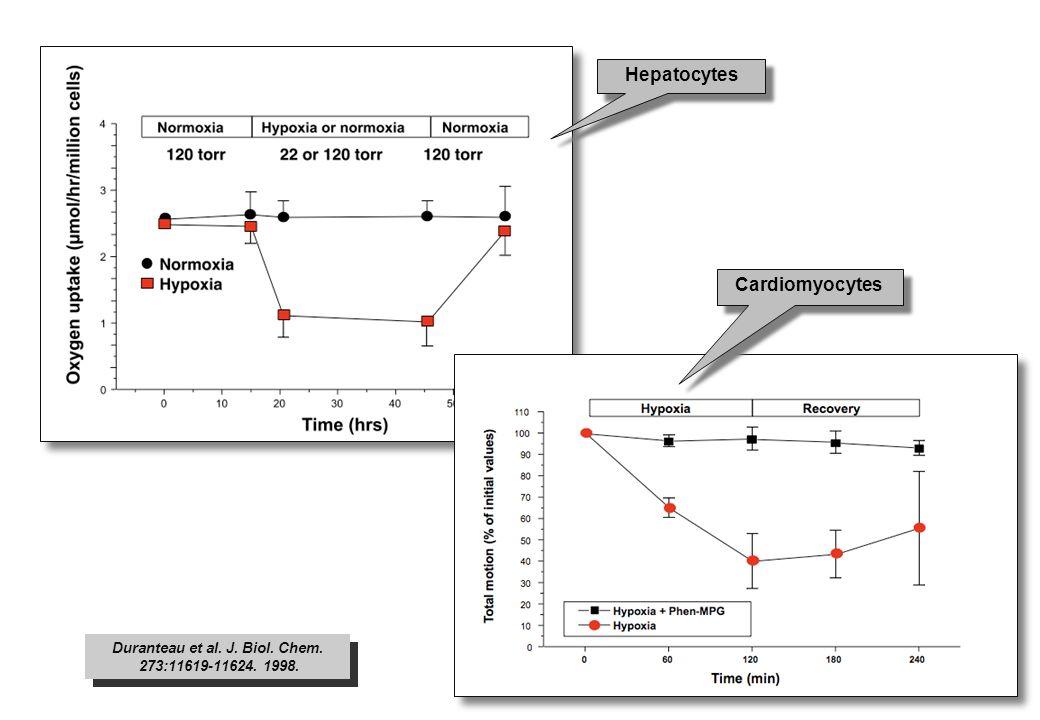 Duranteau et al. J. Biol. Chem. 273:11619-11624. 1998. Duranteau et al. J. Biol. Chem. 273:11619-11624. 1998. Hepatocytes Cardiomyocytes