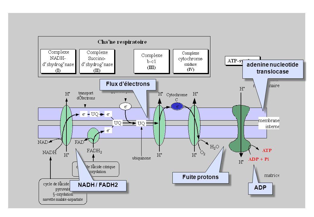 ADP + Pi ATP NADH / FADH2 Flux délectrons ADP adenine nucleotide translocase Fuite protons