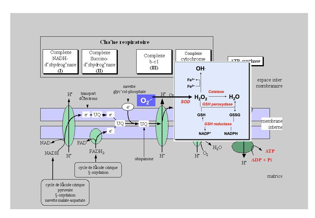 ADP + Pi ATP O 2.-