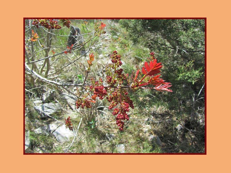 Dans les garigues méditerranéennes, le Ciste pousse très facilement. On en rencontre partout. Il sagit dun arbrisseau pouvant atteindre 1 mètre. Il ap