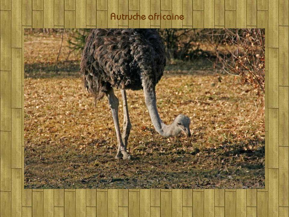 Pintade vulturine dAfrique Famille des Pigeons le « Roulroul »