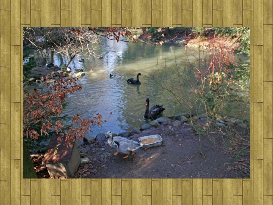 Magnifique étang où lon peut voir Canards et des Cygnes noirs