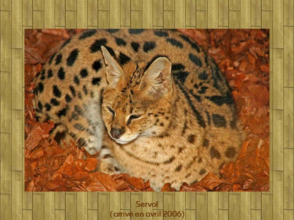 Tigres (mâle et femelle)