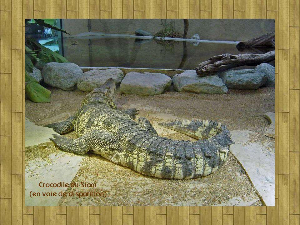 Crocodile du Siam (en voie de disparition)