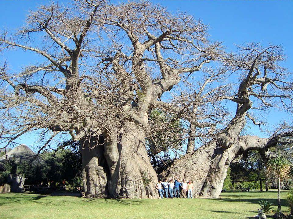 La circonférence du baobab africain atteint parfois 30 m. Un baobab du Zimbabwe oriental est si épais que son tronc évidé sert dabribus et peut accuei