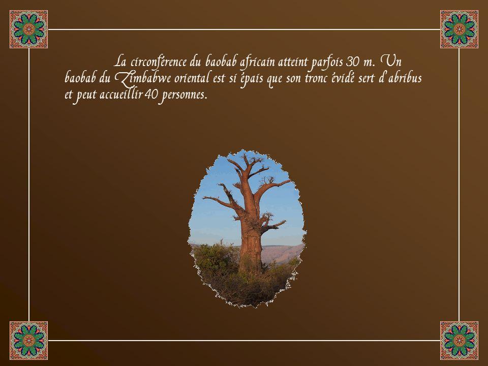 La circonférence du baobab africain atteint parfois 30 m.
