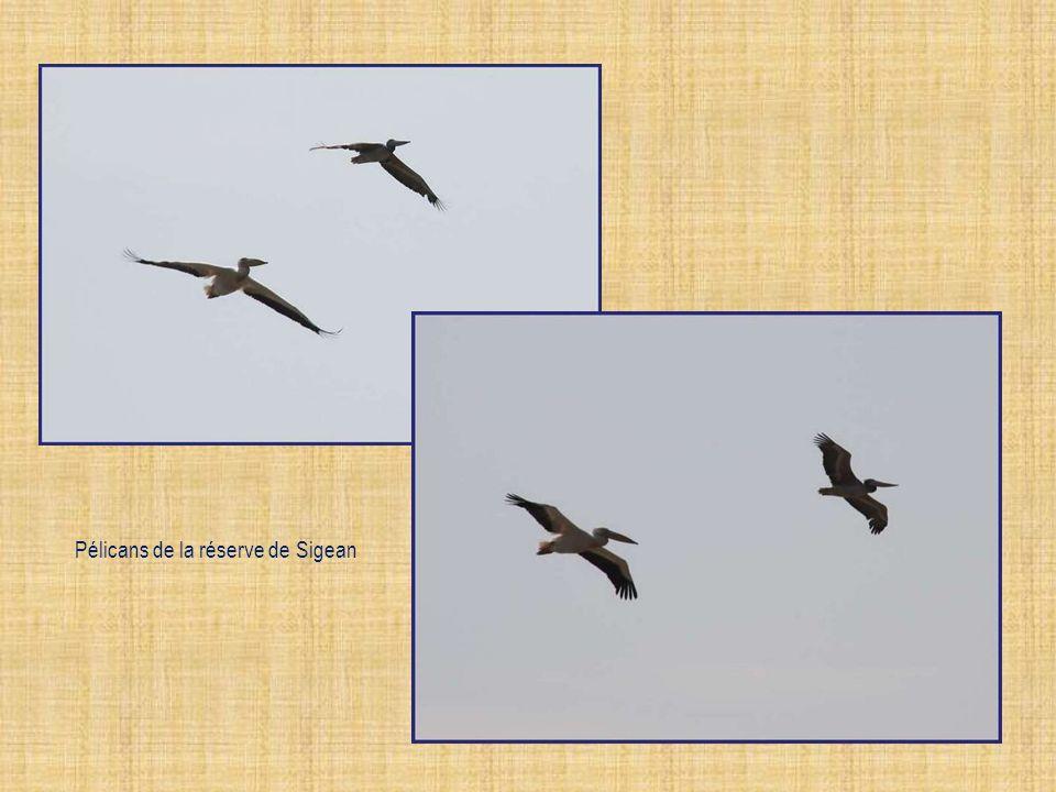 Pélicans de la réserve de Sigean