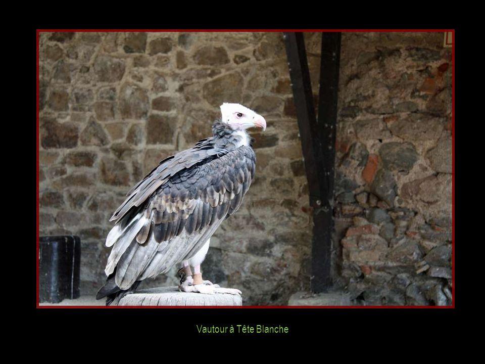 Vautour à Tête Blanche : 1) 3,3 - 5,0 kg 2) 40 ans 3) 210 - 230 cm