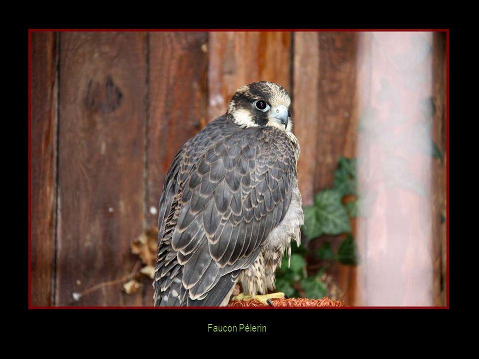 Faucon Pèlerin : 1) 0,55 - 1,5 kg 2) 15 ans 3) 80 - 120 cm