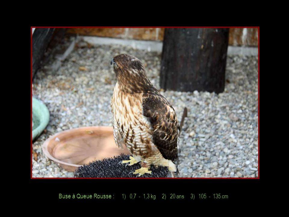 Faucon Sacre : 1) 0,7 - 1,3 kg 2) 15 ans 3) 100 - 130 cm