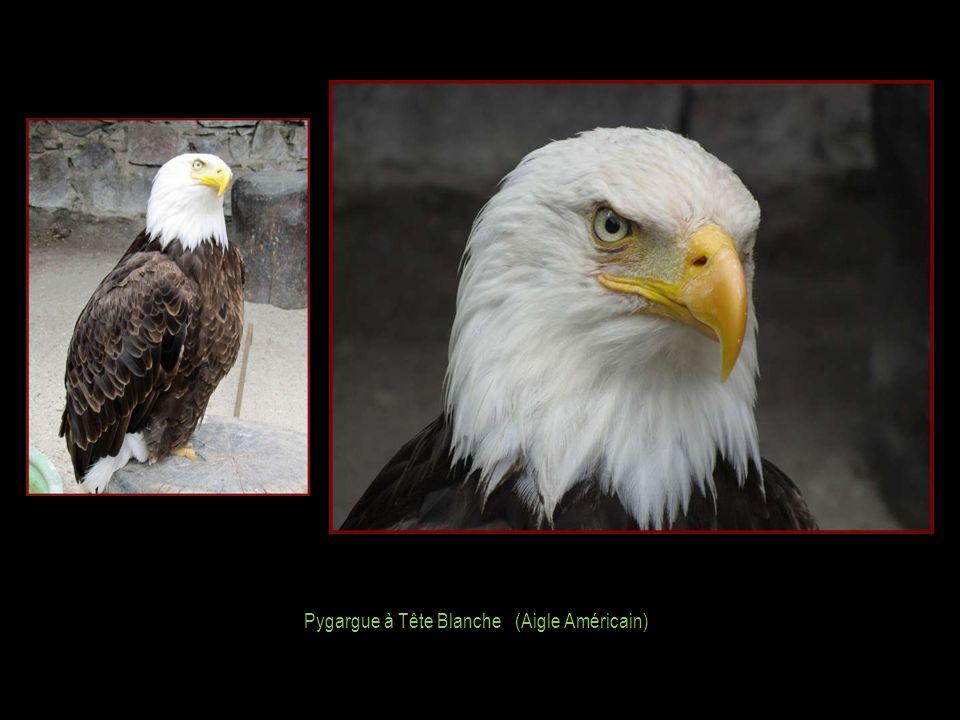 Pygargue à Tête Blanche (Aigle Américain)