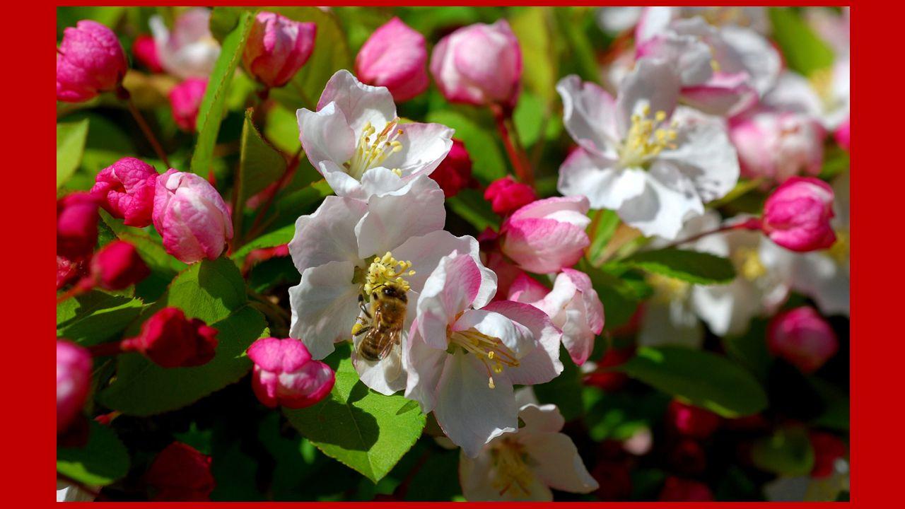 Pétales opalins, sein riche de promesses, Je fais ladmiration des abeilles dorées Revenant sabreuver avec délicatesse, A mon cœur généreux échafaudant