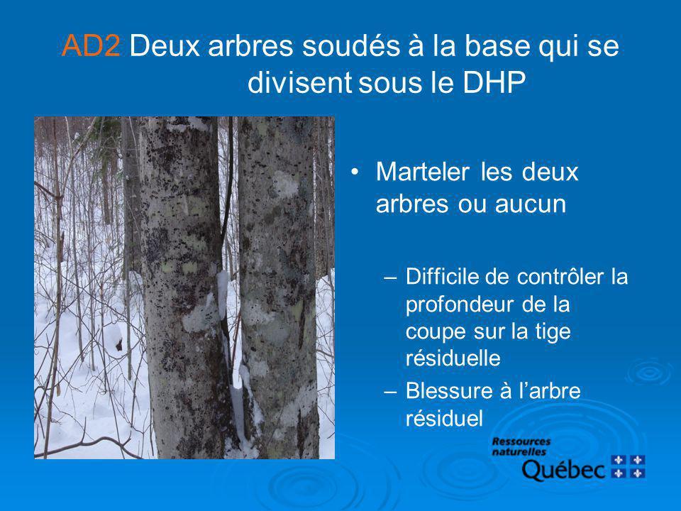 AD2 Deux arbres soudés à la base qui se divisent sous le DHP Marteler les deux arbres ou aucun –Difficile de contrôler la profondeur de la coupe sur l