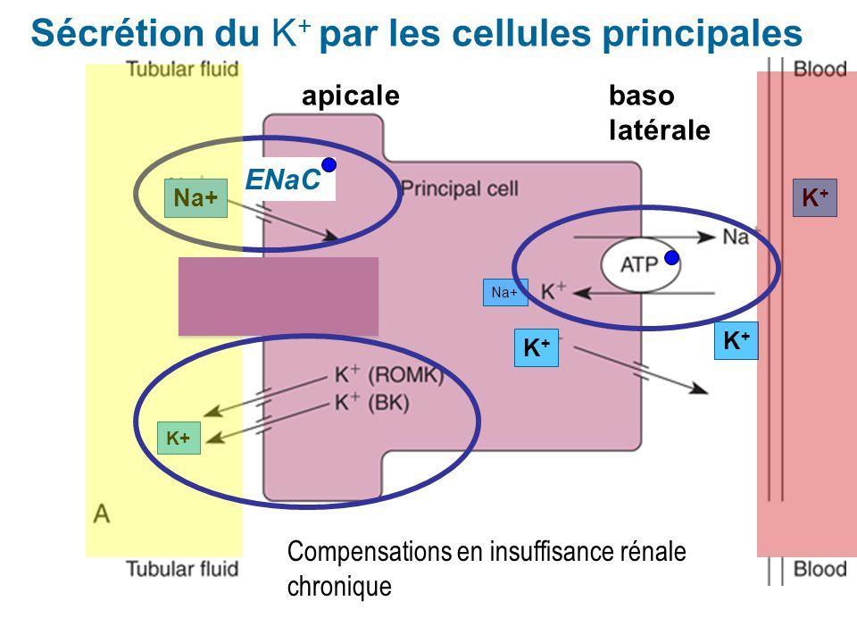 K+K+ K+K+ K+K+ apicalebaso latérale ENaC Sécrétion du K + par les cellules principales K+ Na+ Compensations en insuffisance rénale chronique