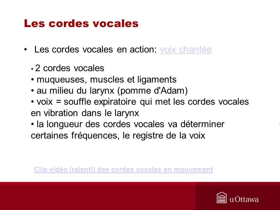 Les cordes vocales Les cordes vocales en action: voix chantéevoix chantée 2 cordes vocales muqueuses, muscles et ligaments au milieu du larynx (pomme
