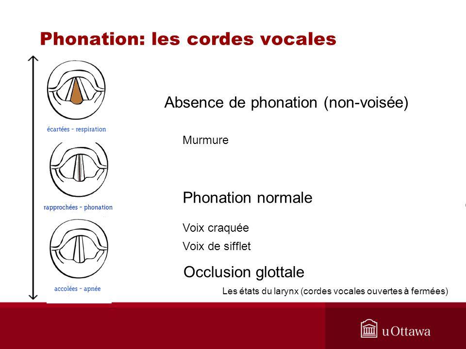 Phonation: les cordes vocales Les états du larynx (cordes vocales ouvertes à fermées) Absence de phonation (non-voisée) Phonation normale Occlusion gl